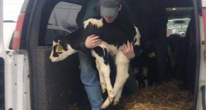 trasporto vitelli macello