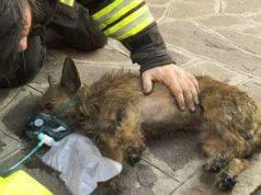 cane salvato incendio