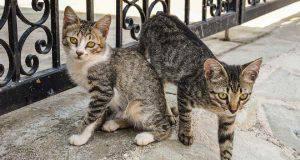 gatti accoppiamento