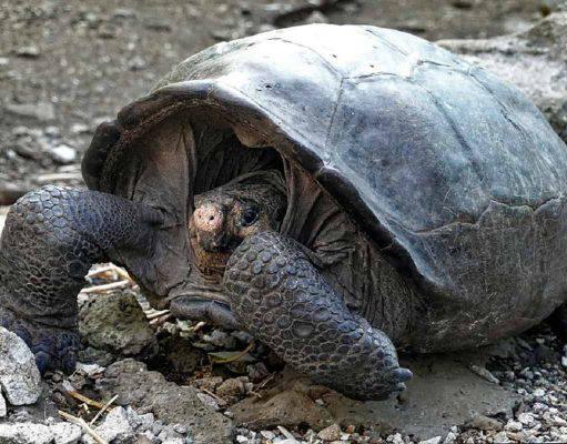 tartaruga galapagos