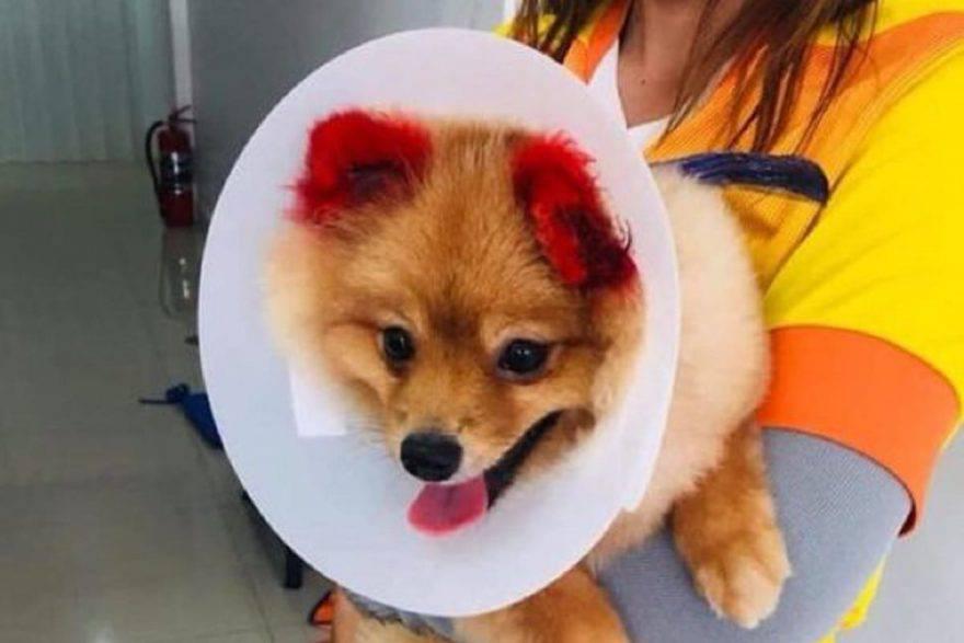 cane perde orecchie
