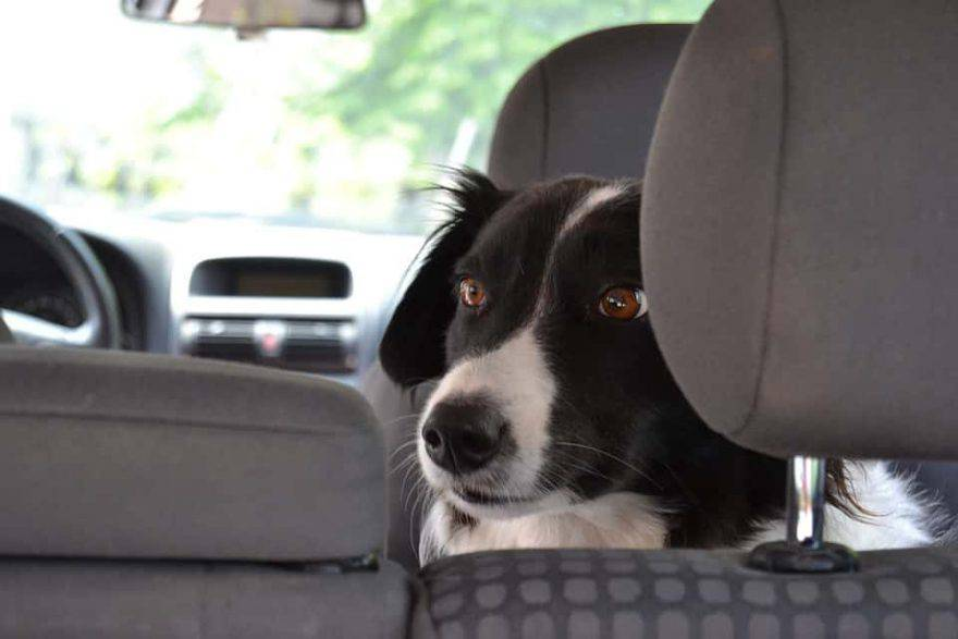 Come tutelare i cani lasciati in macchina