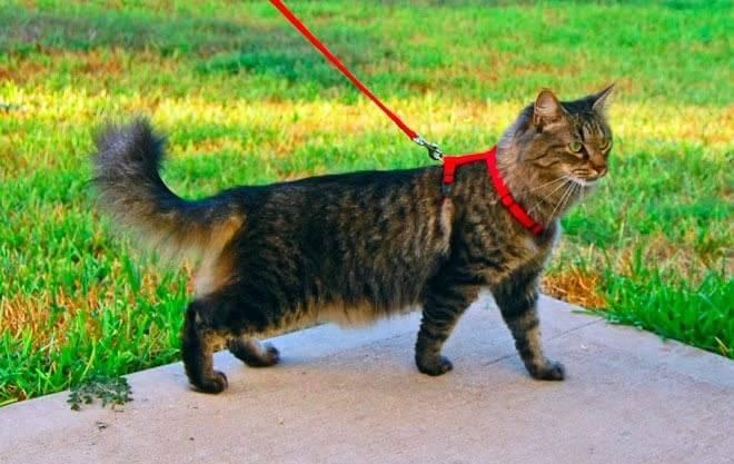 portare il gatto al guinzaglio
