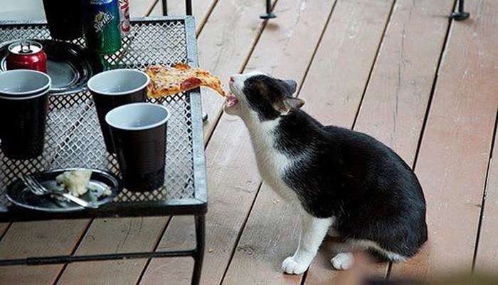 gatto ruba cibo