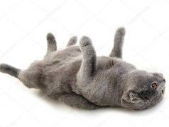 gatto steso sulla schiena