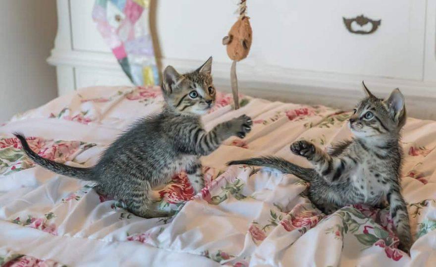 gioco tra gatti