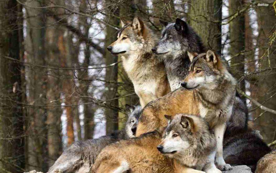 lupi cane alpha