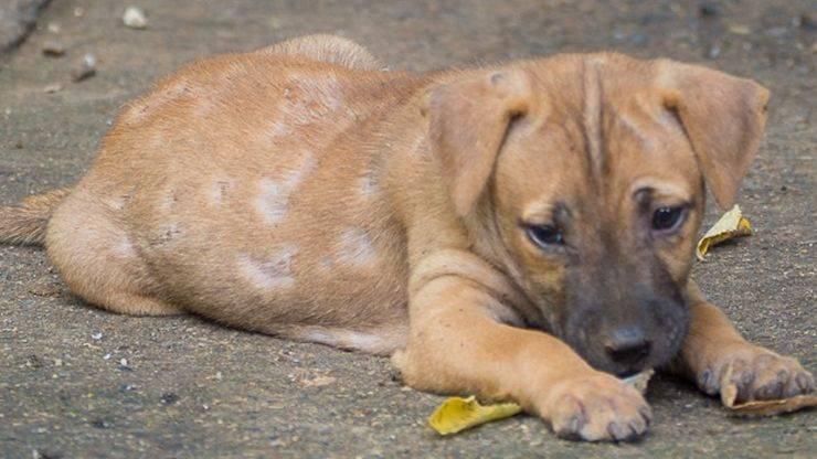 rogna del cane o scabbia