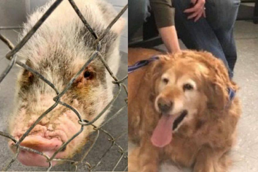 cane maiale abbandonati