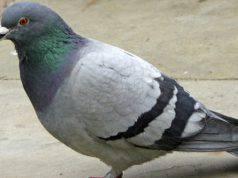 Malattie trasmesse dai piccioni
