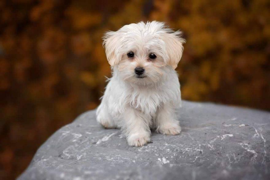 Cane Con Pelo Bianco Come Mantenerlo Pulito E Lucente