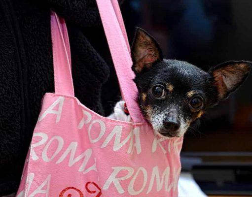 cane toy da borsetta