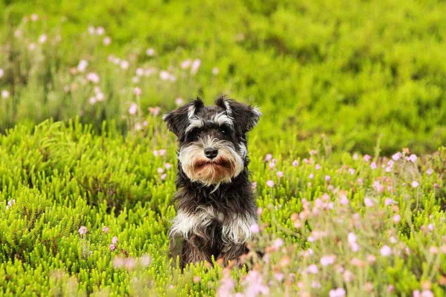 primavera cane