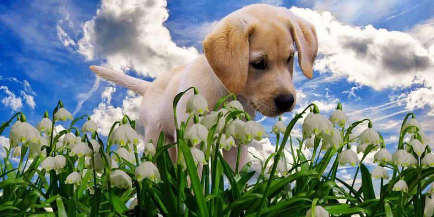 cane primavera