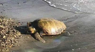tartaruga caretta brindisi nascite