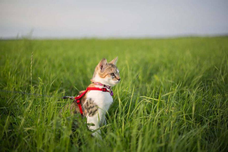 gatto al guinzaglio con pettorina