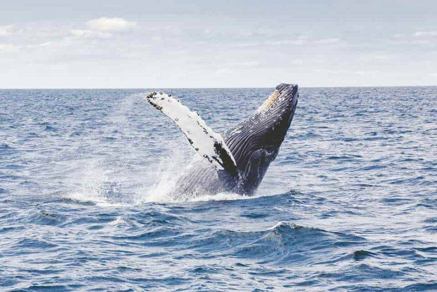 islanda caccia alle balene