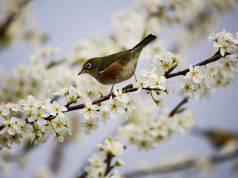 uccelli sentinelle di primavera