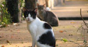 australia gatti selvatici