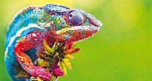 camaleonte specie
