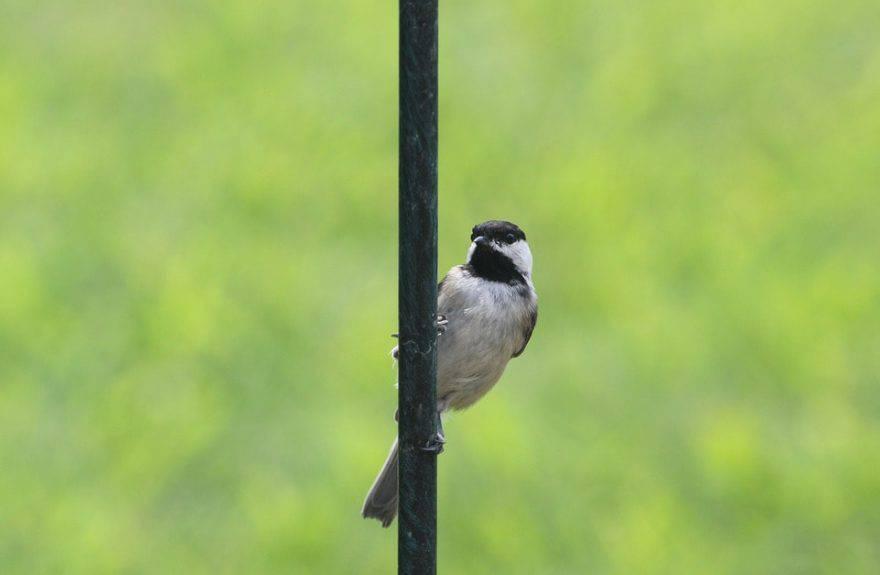 capinera uccello primavera