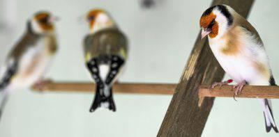 cardellino uccello
