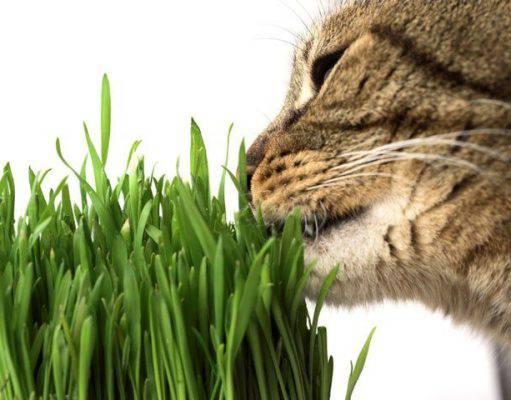 Gatti ed erba gatto