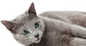 Gatti che non perdono pelo: razze