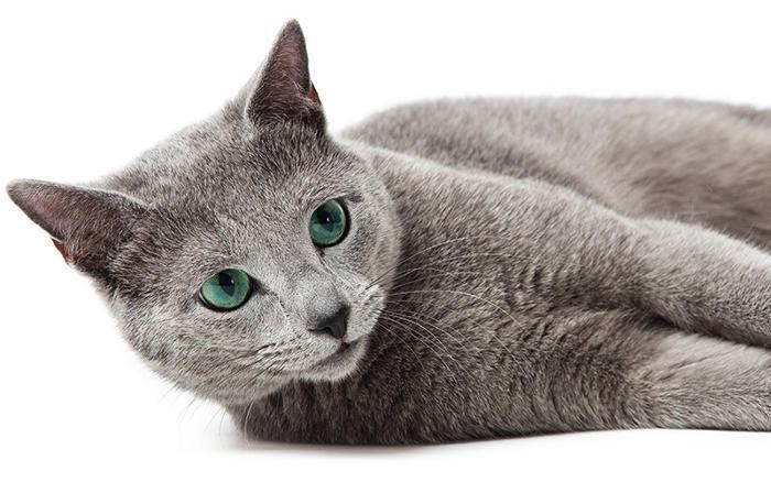 Ecco Le 8 Razze Più Comuni Di Gatti Che Non Perdono Il Pelo