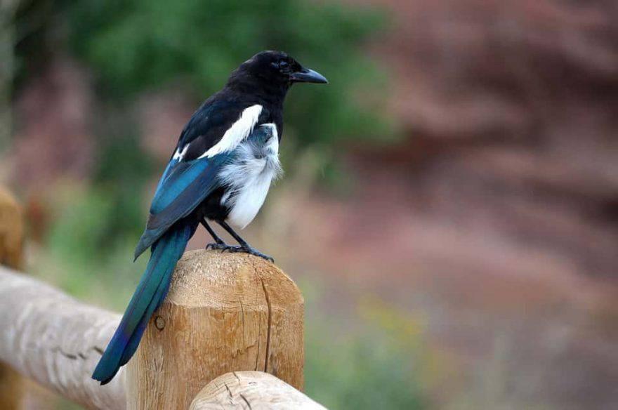 gazza uccello primavera