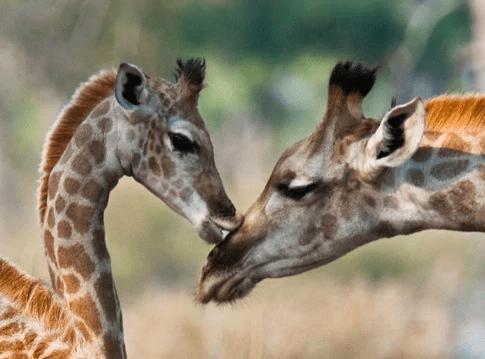giraffa animale guida