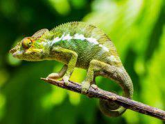 camaleonte habitat