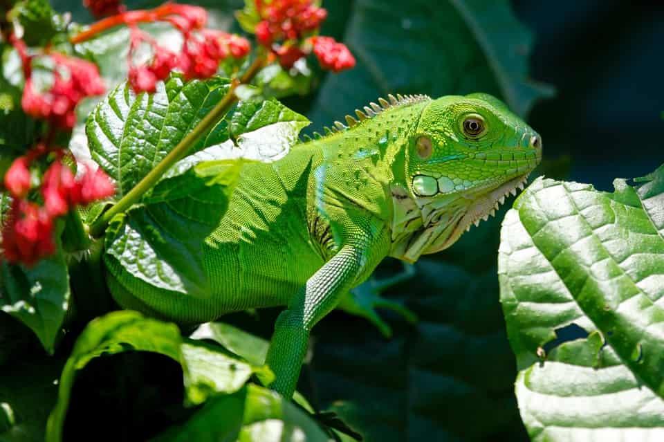Iguana: tutto quello che c'è da sapere per adottarne una