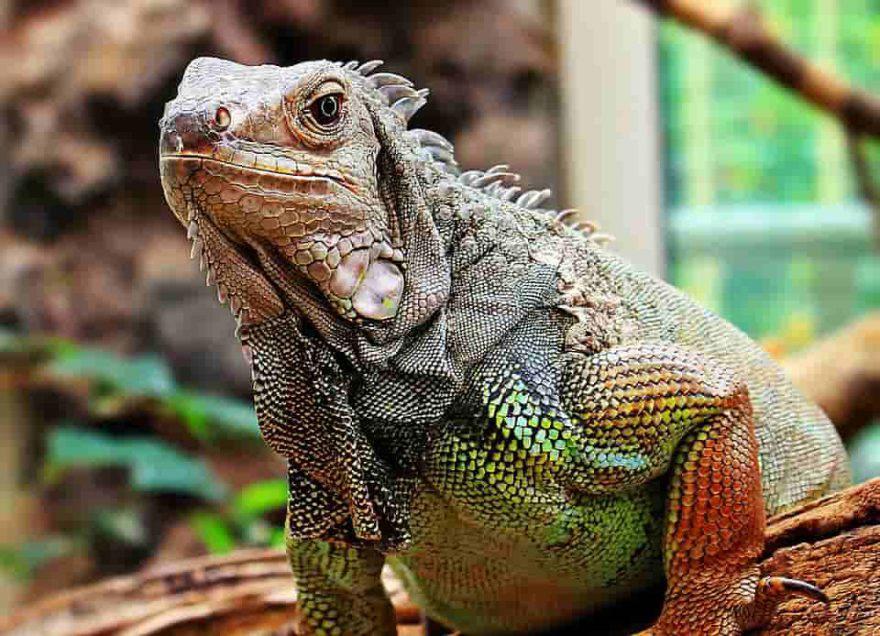 iguana caratteristiche