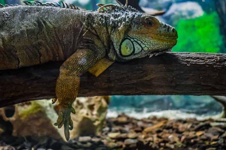 iguana cura