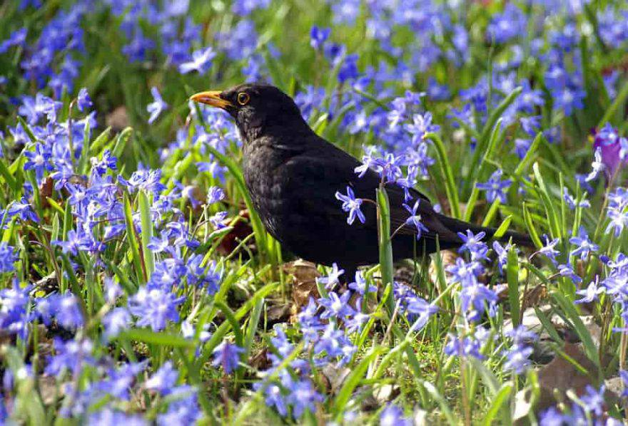 merlo uccello primavera