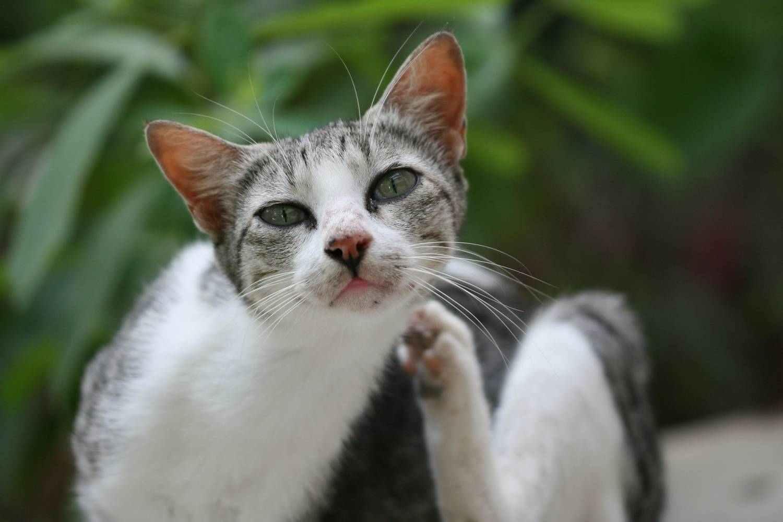 scavare acari sui gatti