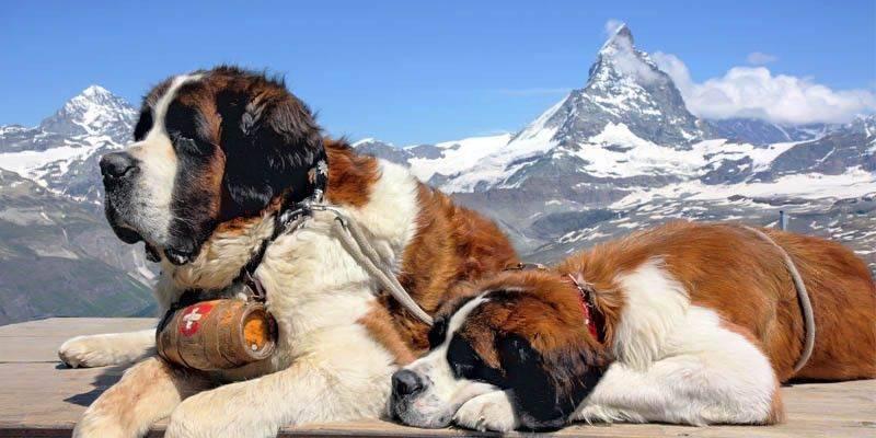 Cani Costosi Le Razze Canine Più Care Con Prezzi Caratteristiche