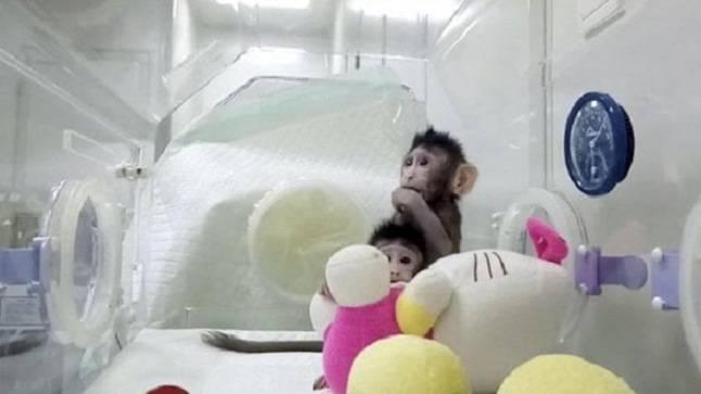 scimmie con geni umani
