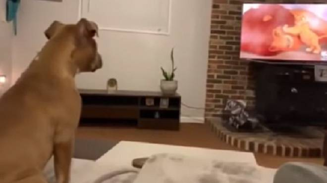 cane guarda tv