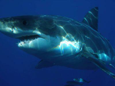 grande squalo bianco