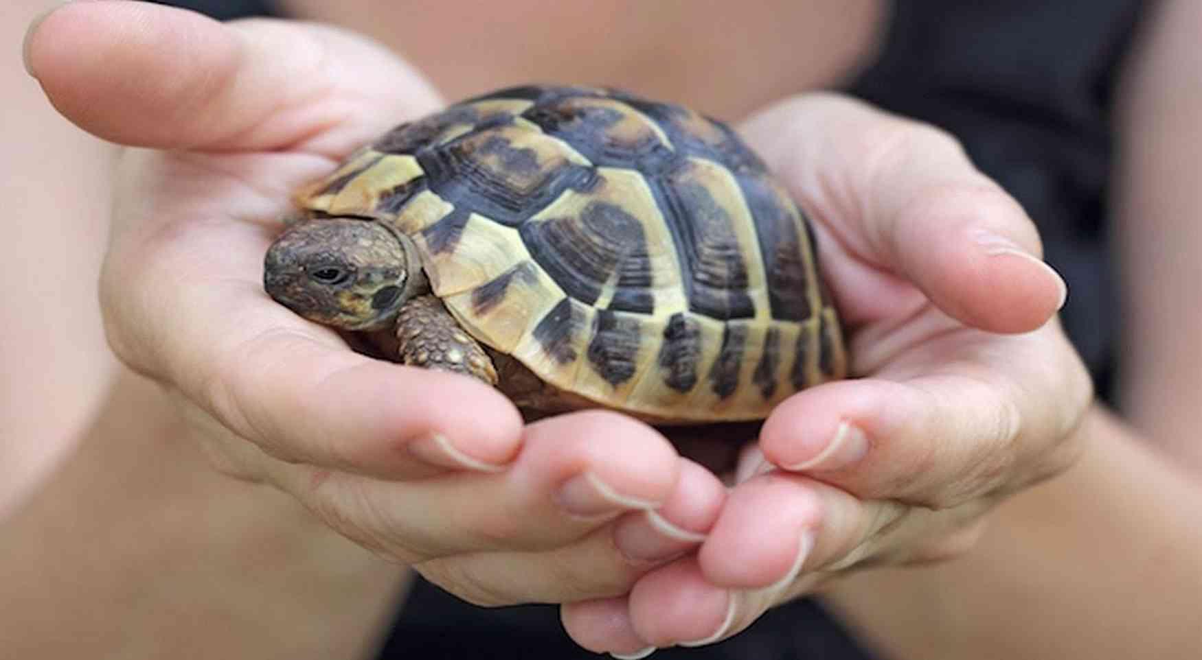 tartarughe di terra come animale domestico esigenze e cure