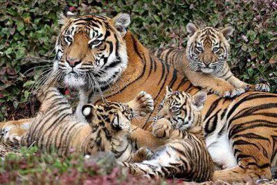 29 luglio: Giornata Internazionale della tigre