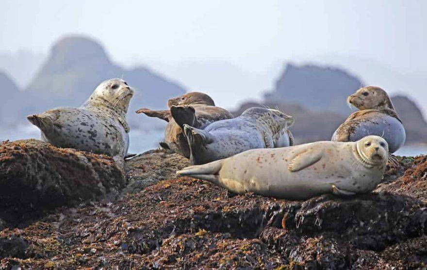 mammiferi marini pinnipedi