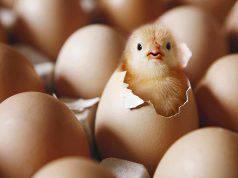 Schiusa uova