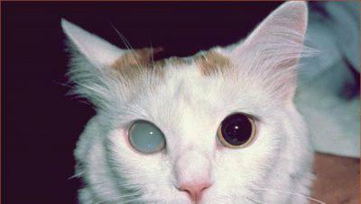 Gatto con cataratta