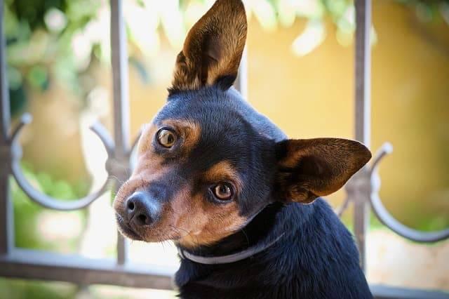 malattie dell'orecchio nel cane
