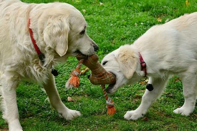 cucciolo dominante cane