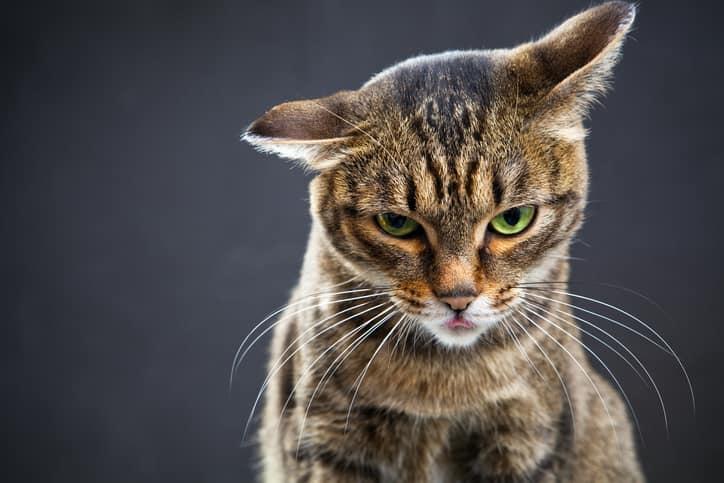 gatto stress ansia