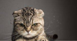 gatto arrabbiato linguaggio del corpo